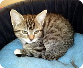 Domestic Mediumhair Kitten for adoption in Chandler, Arizona - Nadia