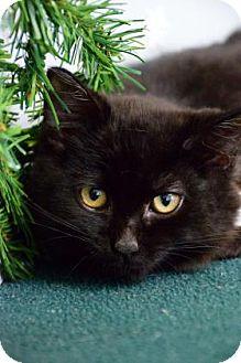 Domestic Mediumhair Cat for adoption in Bradenton, Florida - Stevie