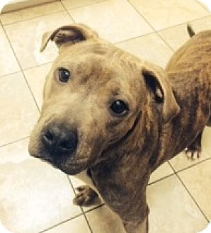 Pit Bull Terrier Dog for adoption in Fort Wayne, Indiana - Mia