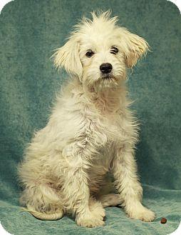 Maltese/Poodle (Miniature) Mix Dog for adoption in Marietta, Georgia - Suki