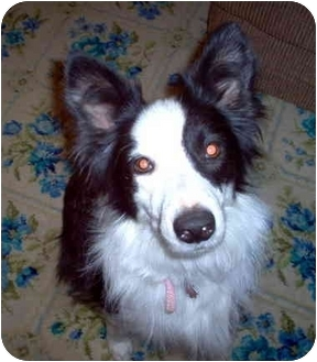 "Border Collie Dog for adoption in Minerva, Ohio - Kayla ""Sponsors Needed"" RIP"