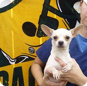 Chihuahua Mix Dog for adoption in Oviedo, Florida - Zoe