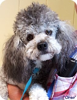Poodle (Miniature) Mix Dog for adoption in Key Largo, Florida - Oreo