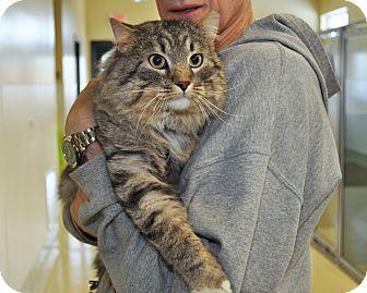 Domestic Mediumhair Cat for adoption in International Falls, Minnesota - Beemer