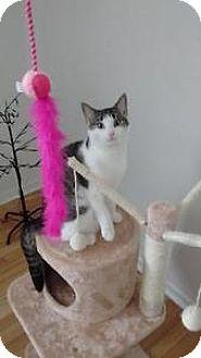 Domestic Shorthair Cat for adoption in Everett, Ontario - Leah
