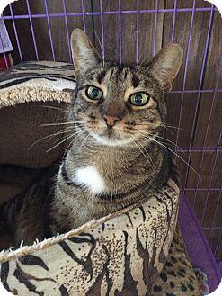 American Shorthair Cat for adoption in Hamburg, New York - Alice