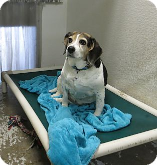 Beagle Dog for adoption in Geneseo, Illinois - Riley