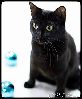 Domestic Shorthair Cat for adoption in Belton, Missouri - Princess Zelda
