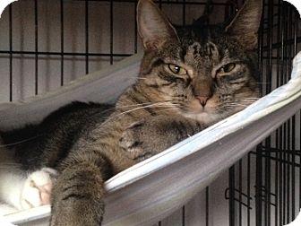 Domestic Shorthair Cat for adoption in Freeport, New York - Rebel