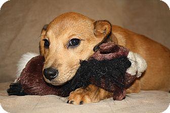 Beagle/Labrador Retriever Mix Puppy for adoption in Hayes, Virginia - Olga