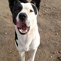 Adopt A Pet :: Cowboy - Santa Cruz, CA