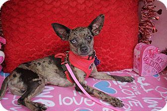 Chihuahua Mix Dog for adoption in Danbury, Connecticut - Sir Leonard Cyprus