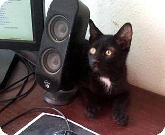 Domestic Shorthair Kitten for adoption in Chandler, Arizona - Rinzler