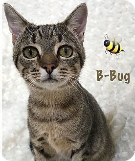 Adopt A Pet :: B-Bug  - Northwood, NH