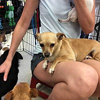 Chihuahua/Beagle Mix Dog for adoption in Gilbert, Arizona - Rosalie