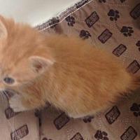 Adopt A Pet :: ginger - temecula, CA