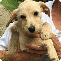 Adopt A Pet :: Beau - adorable scruffy - Pewaukee, WI