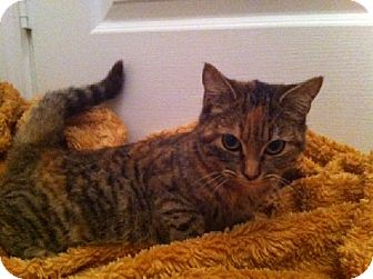 Domestic Shorthair Cat for adoption in Oviedo, Florida - Mya