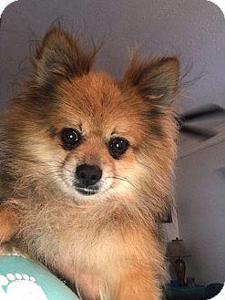 Pomeranian Dog for adoption in Venice, Florida - Jax