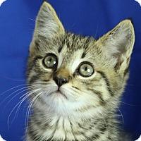 Adopt A Pet :: Rocky Balboa - Winston-Salem, NC