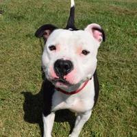 Adopt A Pet :: Meatloaf - Westampton, NJ