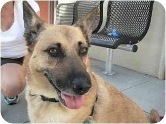 Australian Shepherd/German Shepherd Dog Mix Dog for adoption in Portland, Oregon - Nemo