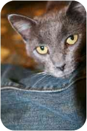 Domestic Shorthair Cat for adoption in Walker, Michigan - Gracie