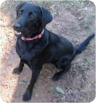 Labrador Retriever Mix Dog for adoption in Haughton, Louisiana - Lulu