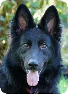 German Shepherd Dog Dog for adoption in Wayland, Massachusetts - Piper