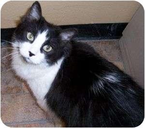 Domestic Mediumhair Cat for adoption in Schertz, Texas - Kiki