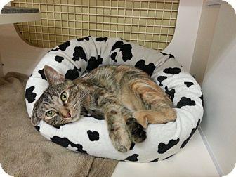 Domestic Shorthair Cat for adoption in Marietta, Georgia - Faith