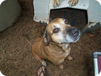 Labrador Retriever Mix Dog for adoption in Fair Oaks Ranch, Texas - Ginger