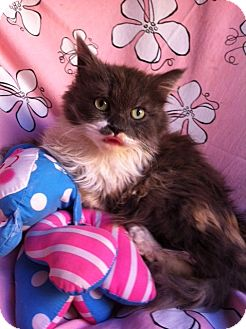 Persian Kitten for adoption in El Cajon, California - DELILAH