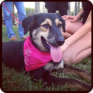 German Shepherd Dog/Collie Mix Puppy for adoption in Miami, Florida - Lucy
