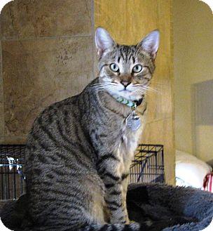 Domestic Shorthair Cat for adoption in Edmond, Oklahoma - Skylar