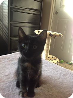 Domestic Shorthair Kitten for adoption in Peoria, Arizona - Guinevere