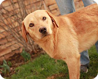 Golden Retriever/Labrador Retriever Mix Dog for adoption in Lancaster, Ohio - Jerry
