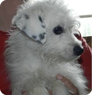 Jack Russell Terrier/Westie, West Highland White Terrier Mix Dog for adoption in Clinton, Maine - Mopsy