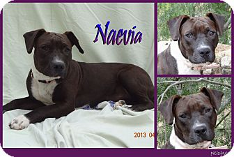American Pit Bull Terrier Mix Dog for adoption in Pittsburgh, Pennsylvania - Naevia