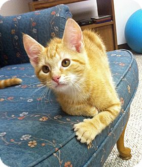 Domestic Shorthair Kitten for adoption in Carlisle, Pennsylvania - Dewey