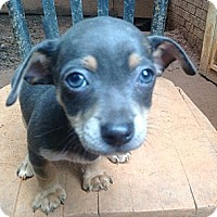 Adopt A Pet :: Chi pup4 - hartford, CT