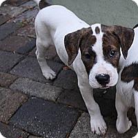 Adopt A Pet :: Huddah - Pembroke pInes, FL
