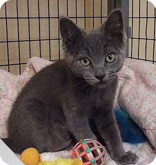 Domestic Mediumhair Kitten for adoption in Grants Pass, Oregon - Emily