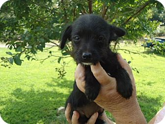 Poodle (Miniature)/Chihuahua Mix Puppy for adoption in Allentown, Pennsylvania - Carma