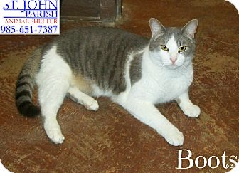 Domestic Shorthair Cat for adoption in Laplace, Louisiana - Boots