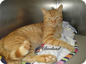 Domestic Shorthair Cat for adoption in Jackson, New Jersey - Cleveland