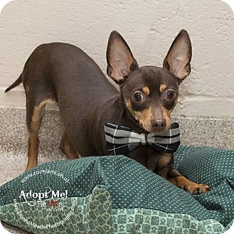 Miniature Pinscher Dog for adoption in Troy, Ohio - Paco