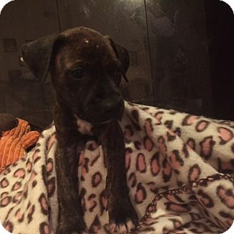 American Pit Bull Terrier Mix Puppy for adoption in Tampa, Florida - Oliver