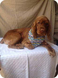 Cocker Spaniel Dog for adoption in San Diego, California - Teddy