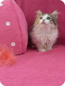 Maine Coon Kitten for adoption in Northfield, Ohio - Adele